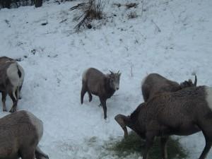 2011 Sheep Supplement Jan 2011 014