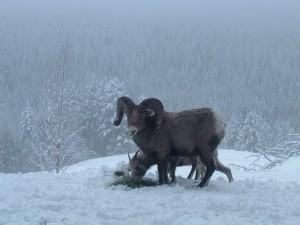 2012 March SheepFeed 024-1