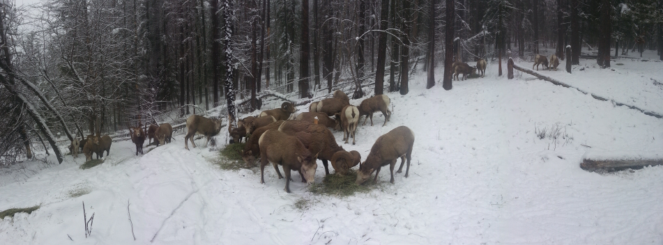 Sheep Feeding on Kootenay Pass, 20160113